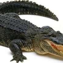 Аватар пользователя Alligator